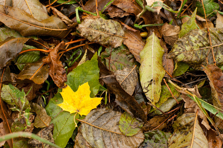 Vivid autumn golden yellow leave is on a carpet of green and brown fallen leaves. It is fall time, September and August. Everything is wet after the rain. Stock Photo