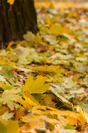 Golden natural carpet of golden leaves in parks and forests. Autumn season time. Leaves are near a tree.