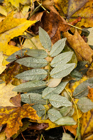 A fallen leave on the ground after the rain. It has water drops dew in it. A green pattern surrounded by yellow autumn colors.