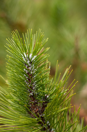 First snow flakes on a branch of green fresh fir tree. It will be Christmas time soon. Winter is coming. Stock Photo