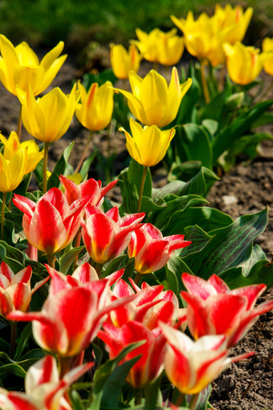 Flowerbed with a mixture of yellow and white rose tulips or glass lampshade. Growing in a botanic garden. Nature and relaxation. Dutch tulips. Stock Photo