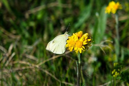 White cabbage garden white butterfly is sitting on a flower drinking honey dew with itsproboscis. Pieris brassicae species.