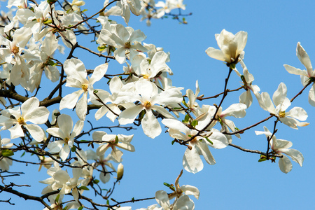 Blossom of magnolia trees. Magnolia flowers of white color. Blue sky on the background. Botanic garden flowers. Tertiary age plant.