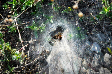A spider is sitting in his web waiting for some pray. A small insect eating other insects. Spider web has tunnel shape. Stock Photo