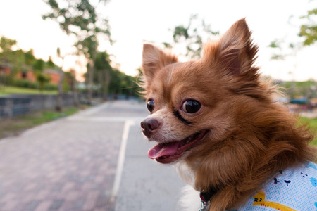 Side face portrait of a chihuahua sitting on the park under natural sunlight.