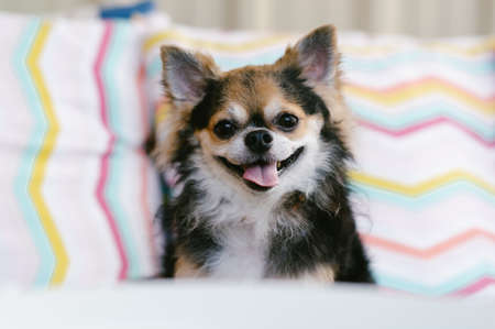 Adorable chihuahua black color sitting on sofa and smile looking at camera in living room at home.