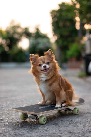 Cute brown chihuahua dog looking at camera and sitting on skateboard on the street in summer vacation. Imagens