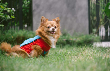 Adorable chihuahua dog wearing superhero costume sitting on green grass in home front and looking away. Imagens