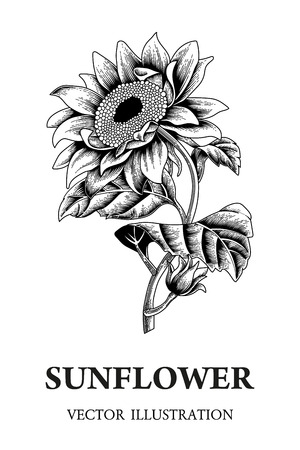 Sunflower. Vector illustration in vintage style.