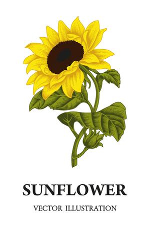 Sonnenblume. Vektorillustration im Weinlesestil.