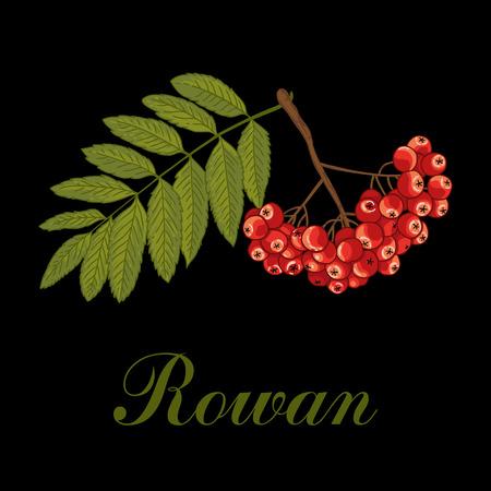 Rowan. Vector illustration. Nature.