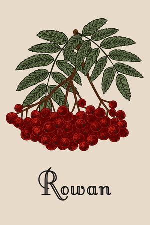 Rowan. Vector illustration. Nature. Berries. 矢量图像