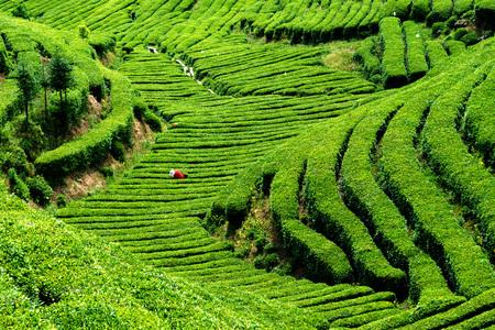 tea garden: Tea-picking at tea garden Stock Photo