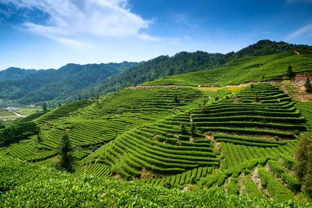 tea garden: Tea-picking at tea garden Editorial