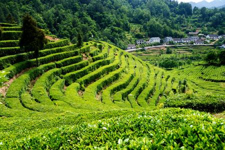 yichang: Tea picking