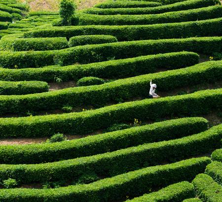 yichang: Tea tea Stock Photo