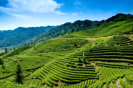 yichang: Tea-picking at tea garden Stock Photo