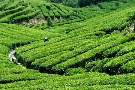 yichang: Tea garden Editorial