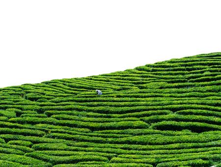 yichang: tea garden