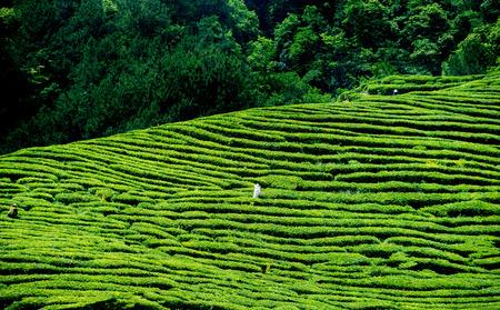 yichang: Tea-picking tea garden Stock Photo