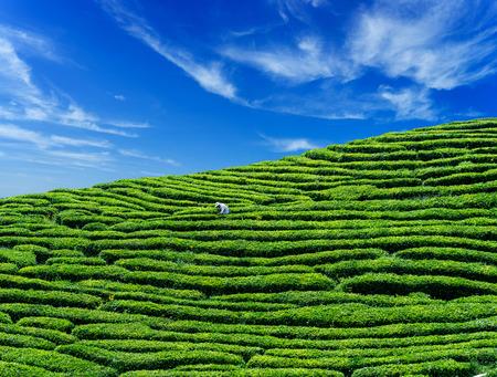yichang: Tea-picking at tea garden Editorial