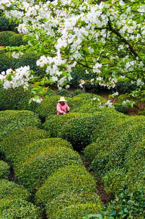 picking: Picking tea leaves