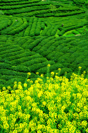 yichang: Cha shan tea garden tea