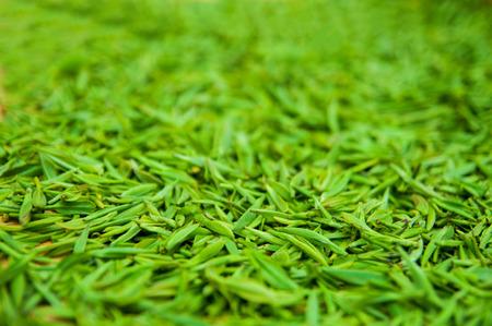 yichang: Fresh leaves of tea shoots