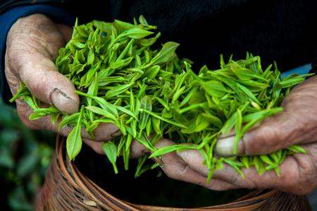 yichang: Tea bud