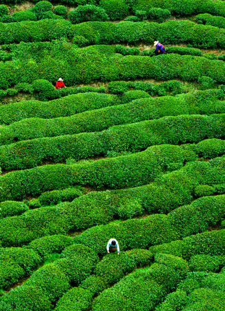 Tea-picking tea garden tea Stock Photo