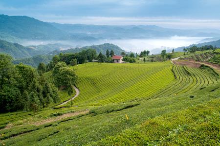 tea garden landscape view Stock Photo