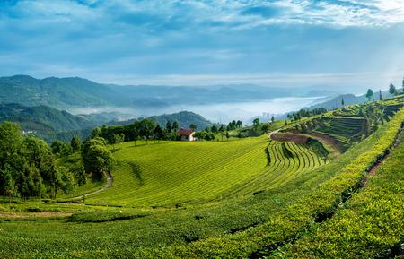 tea garden: tea garden landscape view Editorial