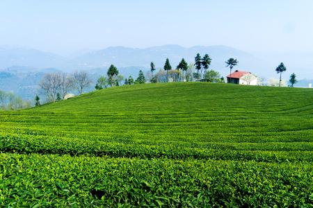 Tea plantation Editorial