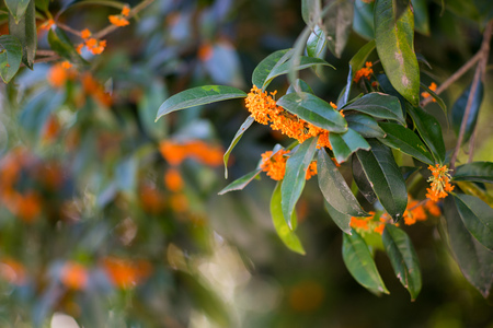scented: Golden sweet scented osmanthus