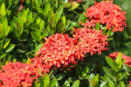 tropical shrub: tropical shrub with red flowers and evergreen leaves