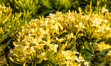 tropical shrub: tropical shrub with yellow flowers and evergreen leaves
