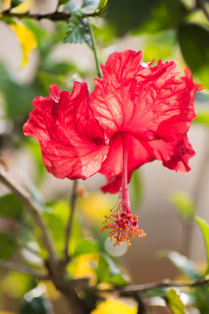 gleam: Red hibiscus flower on a gleam in Vietnam Stock Photo