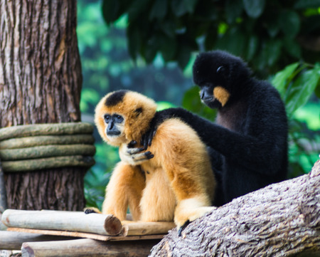 hairy arms: black monkey consoled his friend in a Singapore zoo