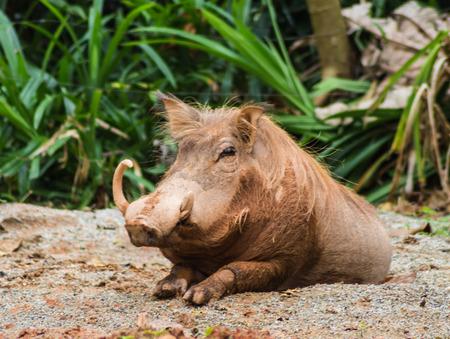 jabali: cerdo salvaje en un zoológico de Singapur Foto de archivo