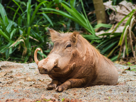 ugliness: wild pig in a  zoo of  Singapore