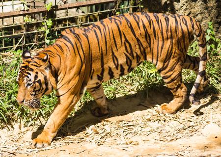 cruel zoo: walking  tiger in a zoo in malaysia Stock Photo