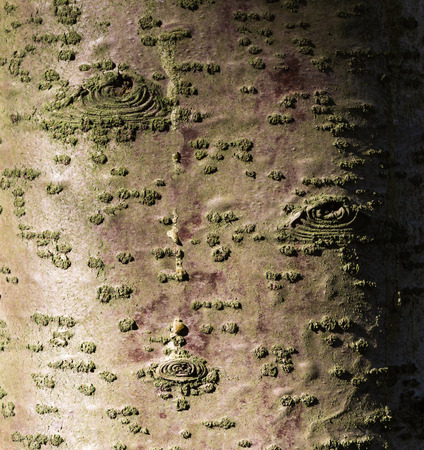 silver maple: texture of tree bark with  patterns similar to the eye