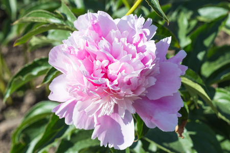 pink peony flower in a botanical garden