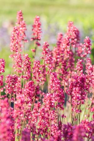 blooming purple: blooming purple heuchera in the garden