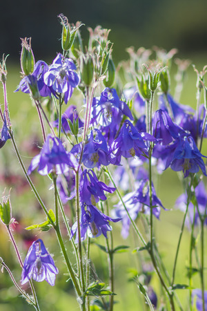 pink columbine: blooming purple and blue columbine in the garden