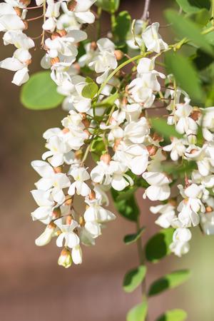 langosta: floración de langostas en el jardín en verano Foto de archivo