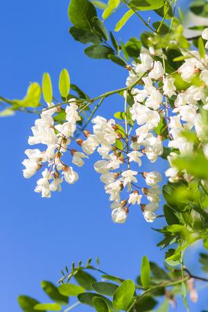 langosta: floraci�n de langostas en el jard�n en verano Foto de archivo