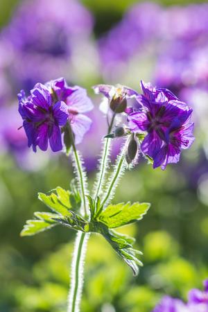 geranium color: blooming geraniums in the garden in summer