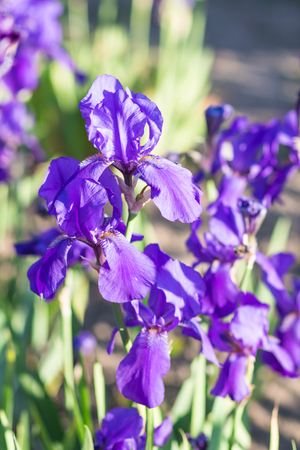 purple irises: Colorful purple  irises in a botanical garden Stock Photo