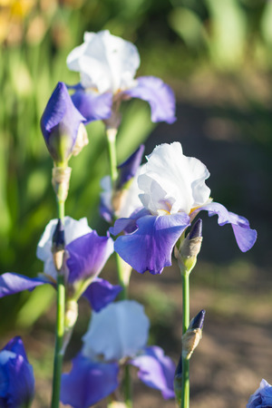 bearded iris: Colorful purple  irises in a botanical garden Stock Photo